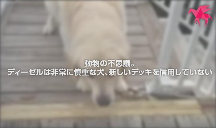 動物の不思議。ディーゼルは非常に慎重な犬、新しいデッキを信用していない